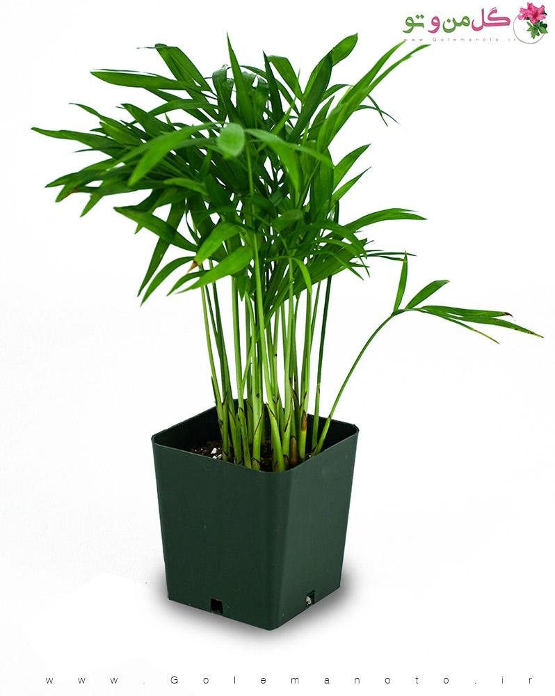 نگهداری نخل شامادورا(بامبو)-گل من و تو