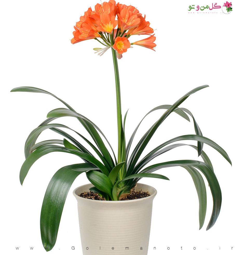 گلدهی-ونگهداری گل خورشیدی