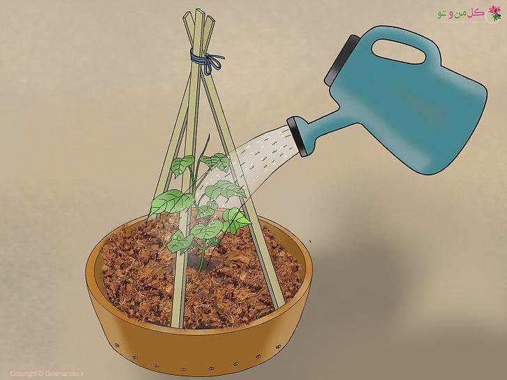 آبیاری خیار در گلدان