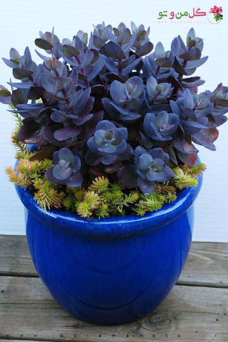 سدوم آبی - گل من و تو