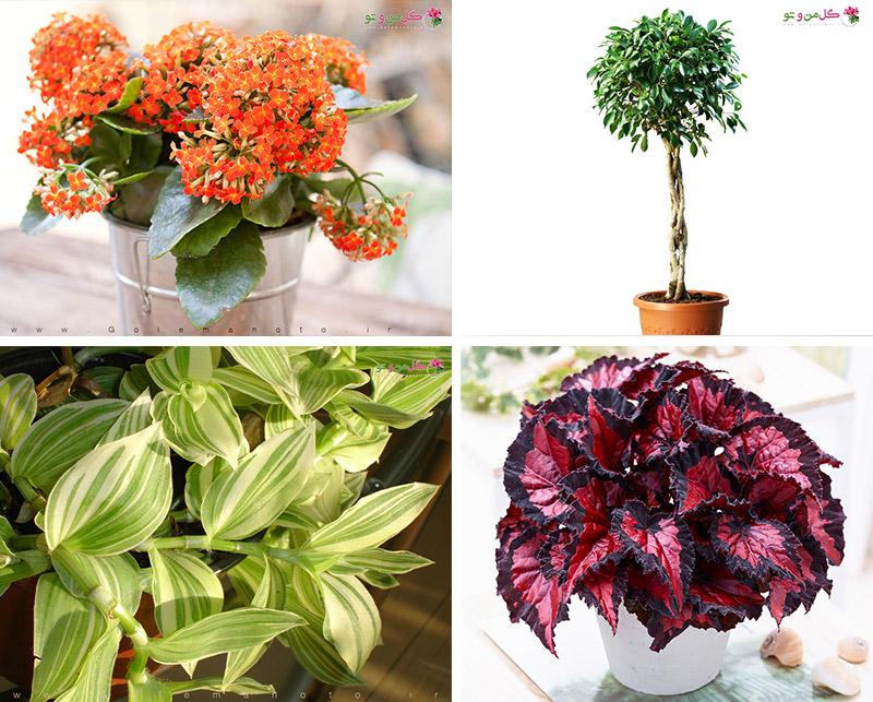 گیاهان با نیاز نوری متوسط