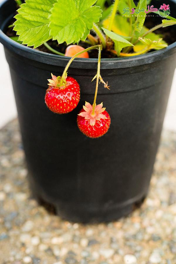 آموزش کاشت توت فرنگی در گلدان
