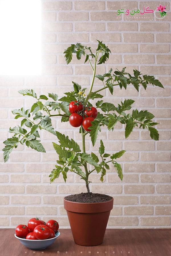 کاشت گوجه فرنگی در گلدان - گل من و تو