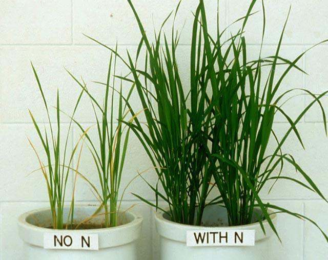 کمبود نیتروژن در گیاهان آپارتمانی