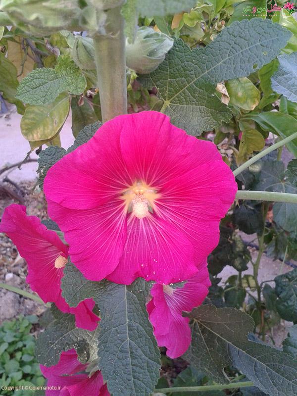 19 خواص گل ختمی ؛ گل ختمی عفونت و کیست را برطرف می کند