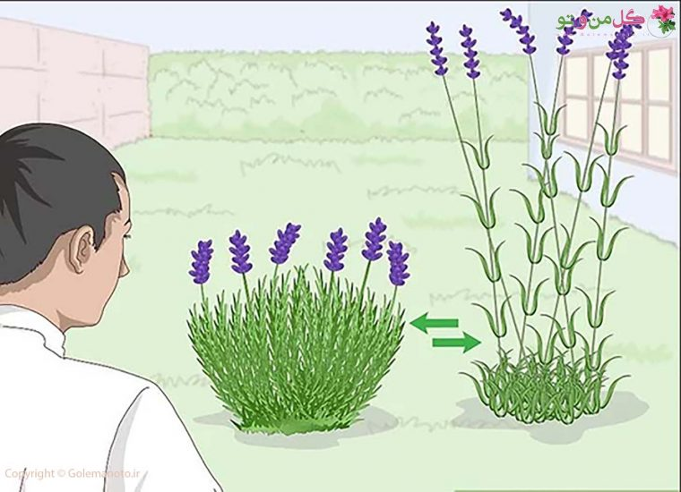 کاشت گیاه اسطوخودوس در گلدان