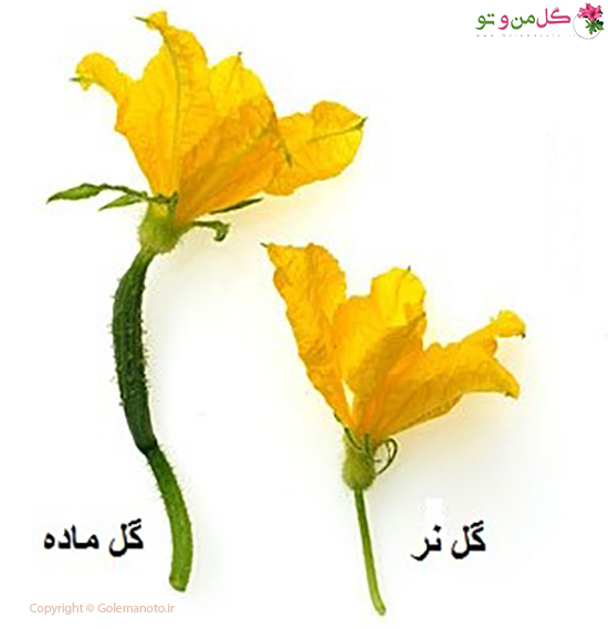 ریزش گل خیار