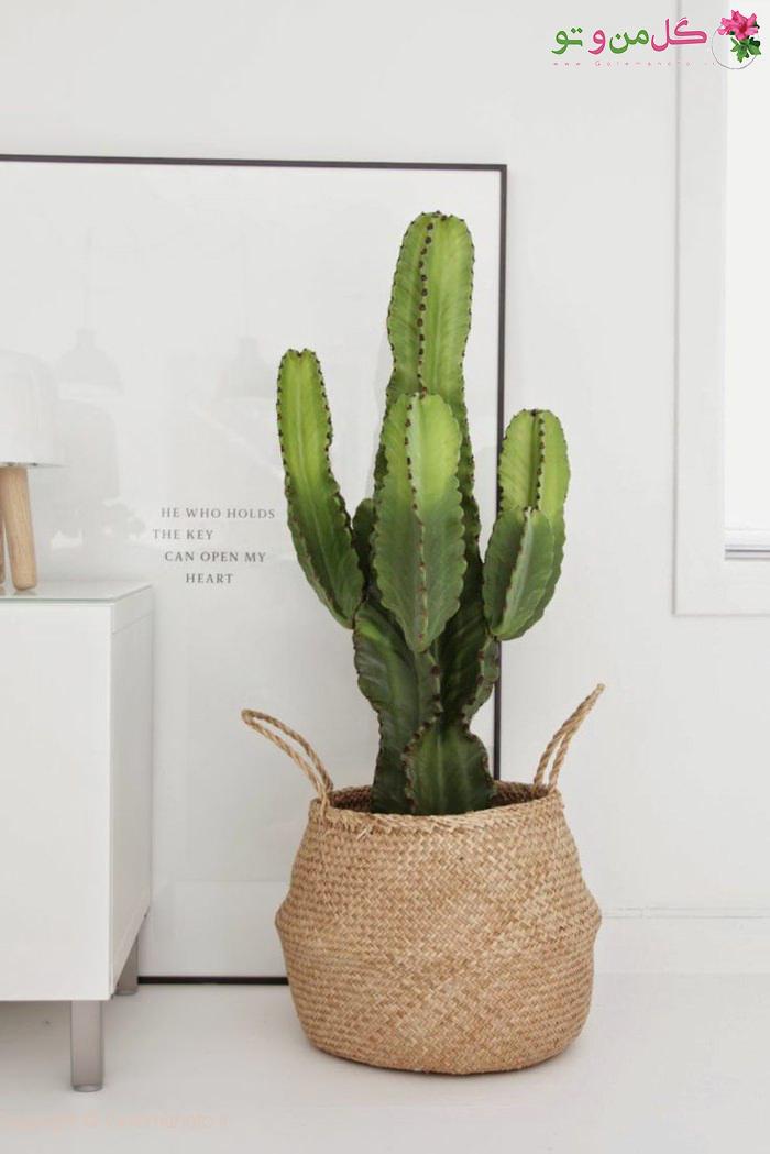 استفاده از کاکتوس در چیدمان گیاهان آپارتمانی