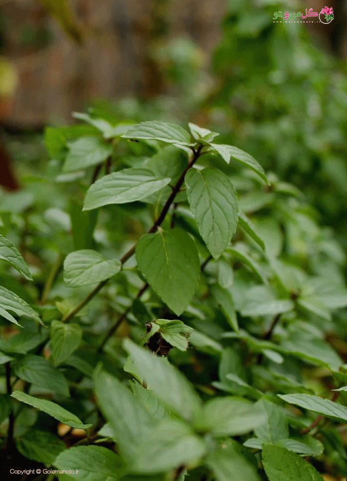 انواع گیاه شکلاتی - شکلات مِنت