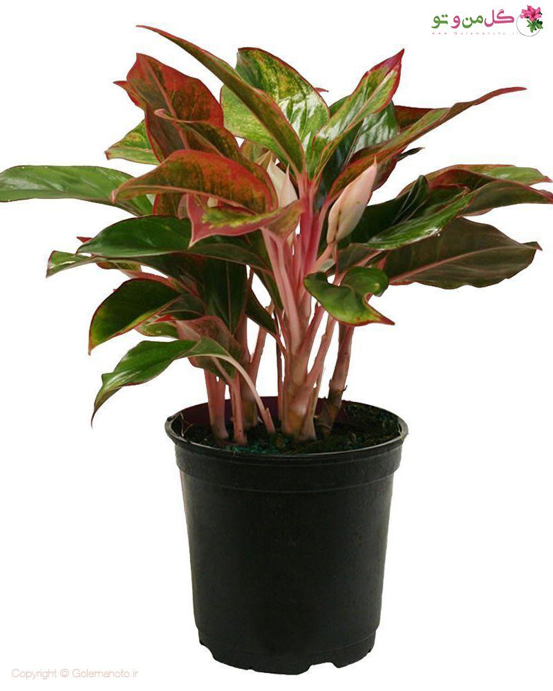 اگلونما - Aglaonema - گیاه مقاوم به نور کم