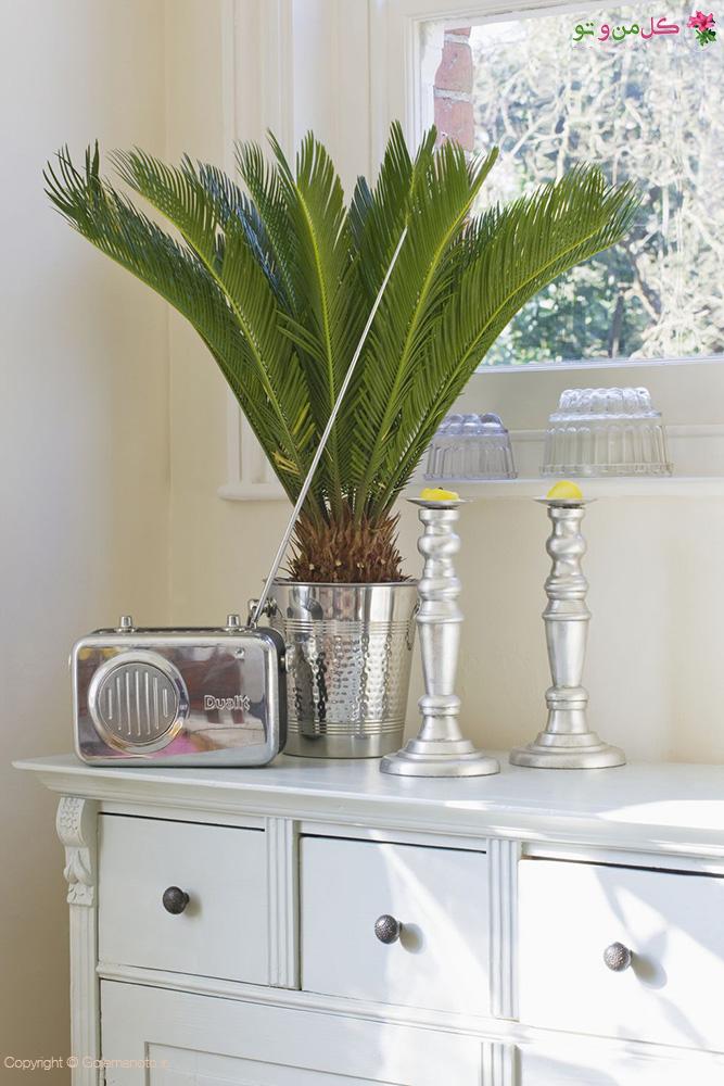 «ساگو پالم ژاپنی» Japanese Sago Palm