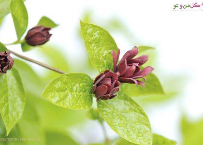 معرفی انواع گیاه شکلاتی