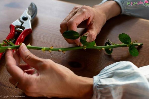 انتخاب قلمه مناسب رز و چیدن برگهای اضافی