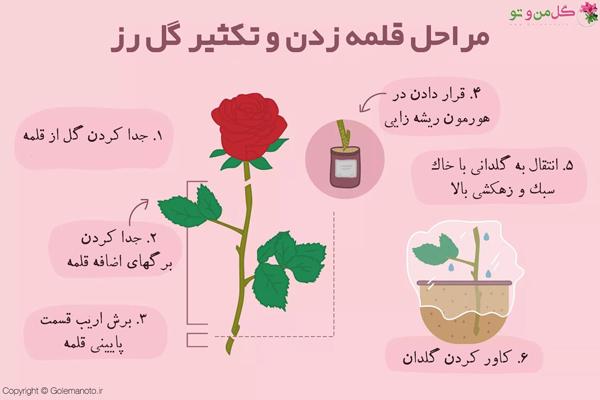 روش تکثیر گل رز به صورت قلمه زدن