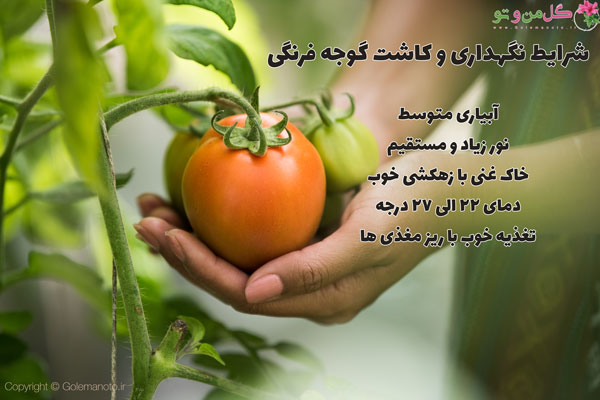 شرایط نگهداری و کاشت گوجه فرنگی