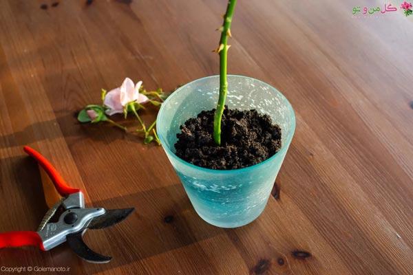 مراحل تکثیر گل رز - کاشت قلمه در خاک