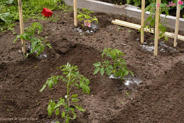 کاشت گوجه فرنگی در باغچه