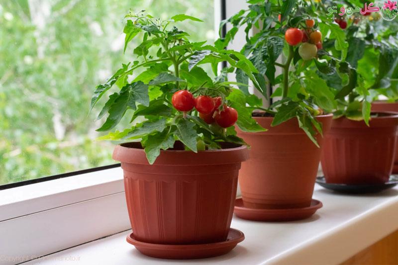 کاشت گوجه فرنگی در گلدان و باغچه