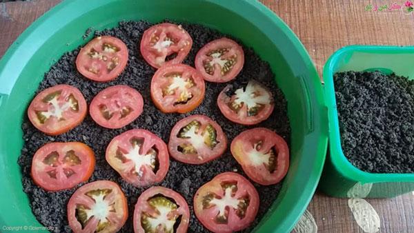 کاشت گوجه فرنگی در گلدان با گوجه
