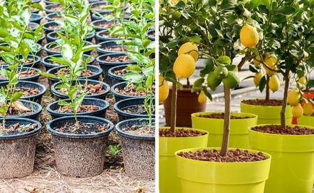 1 1 کاشت درخت میوه با هسته آن : کاشت درخت میوه در گلدان