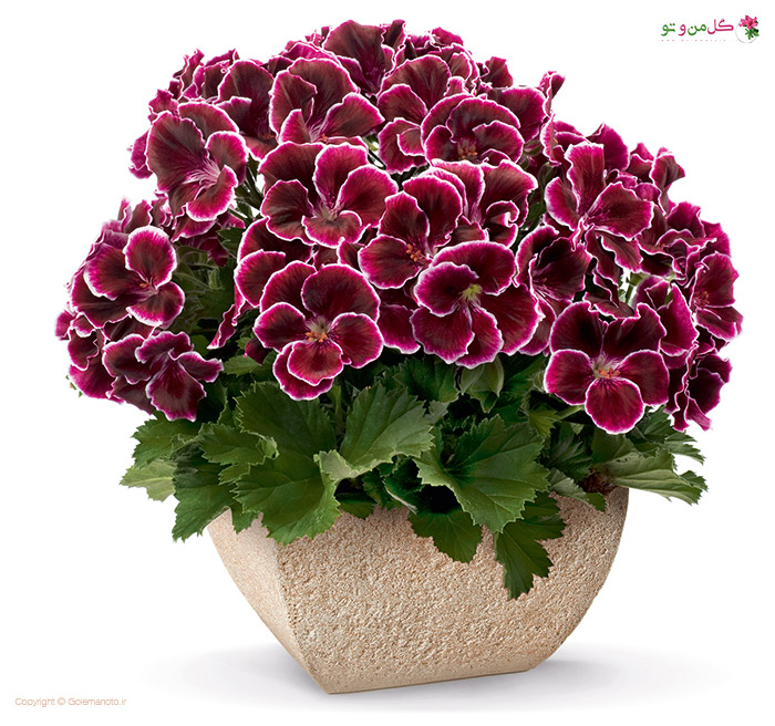 شمعدانی اژدر - زیباترین گیاهان خانگی
