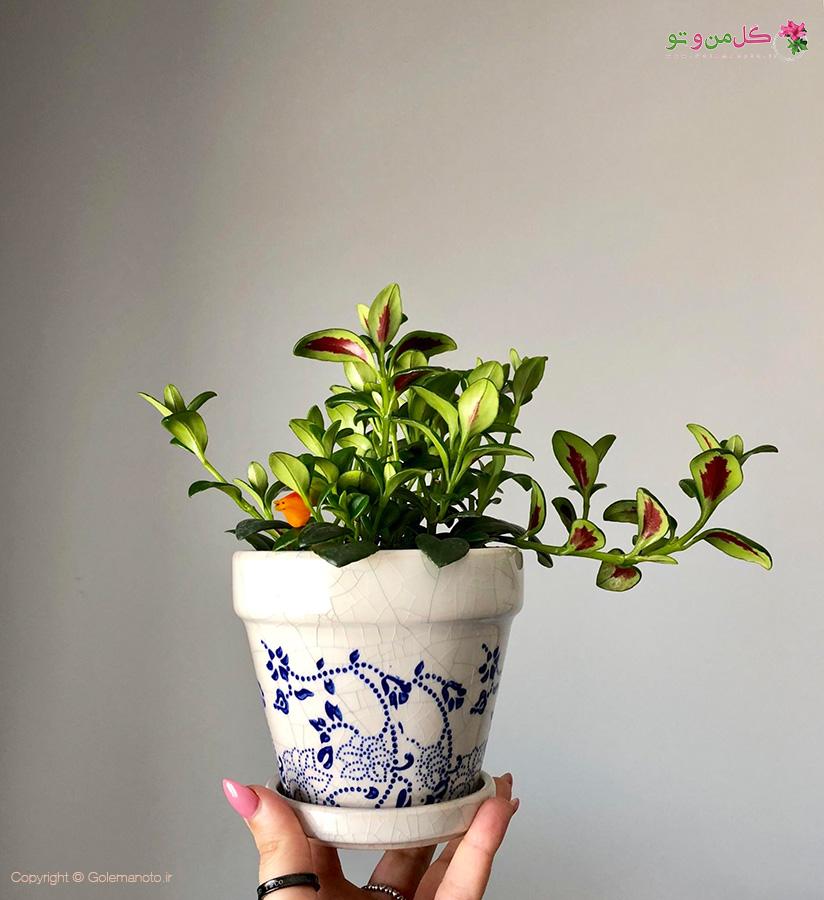 تعویض گلدان کولومنئا - گل کلومنه آ