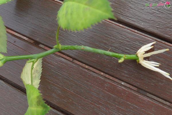ریشه دهی قلمه گل رز