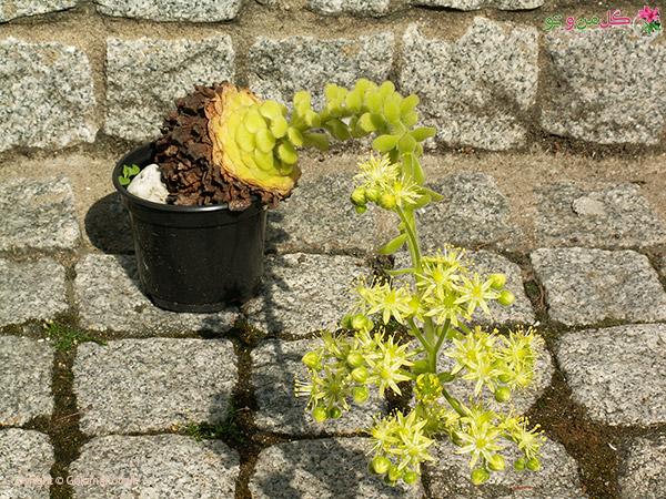 Aeonium tabuliforme PICT2279 گیاه بشقابی