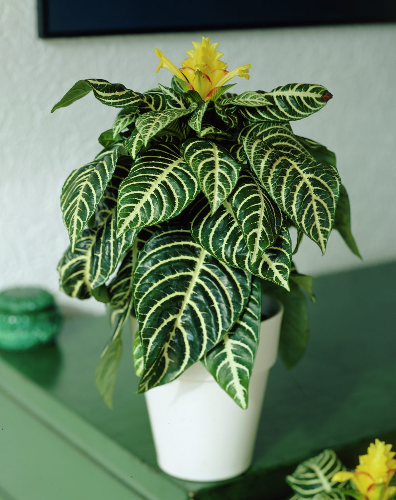 Aphelandra squarrosa116 گل آفلاندرا