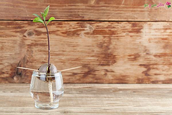 Avo1 کاشت درخت میوه با هسته آن : کاشت درخت میوه در گلدان