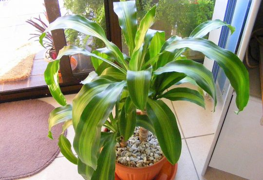 درمان بیماری و آفات گیاه دراسنا