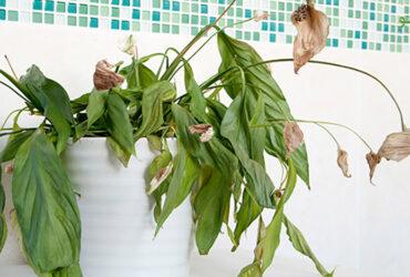 چگونه گیاهان پژمرده خود را شاداب کنیم؟