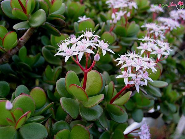 گلدهی گیاه کراسولا خرفه