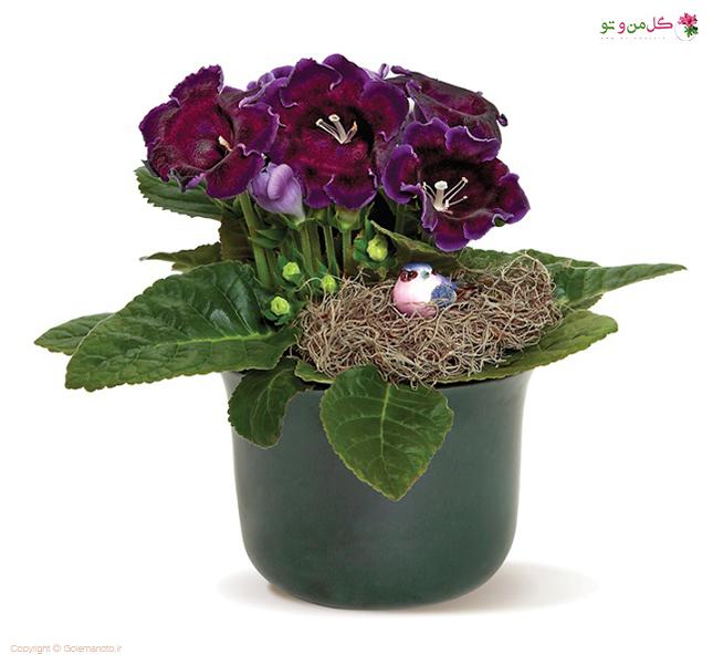 گلوکسینیا - زیباترین گیاهان آپارتمانی
