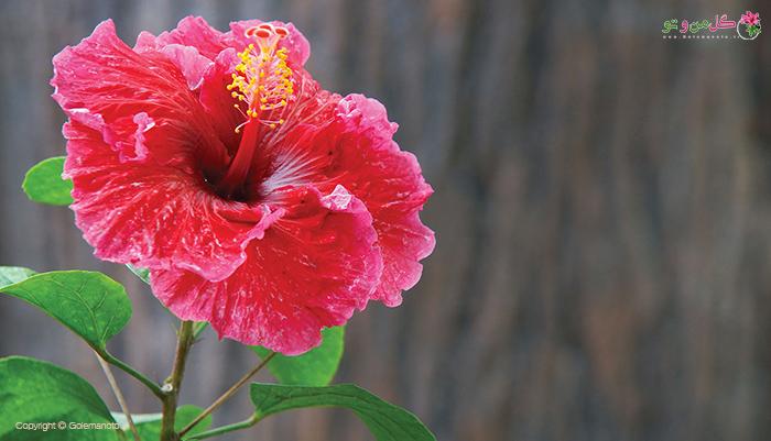 گل ختمی چینی- زیباترین گیاهان آپارتمانی