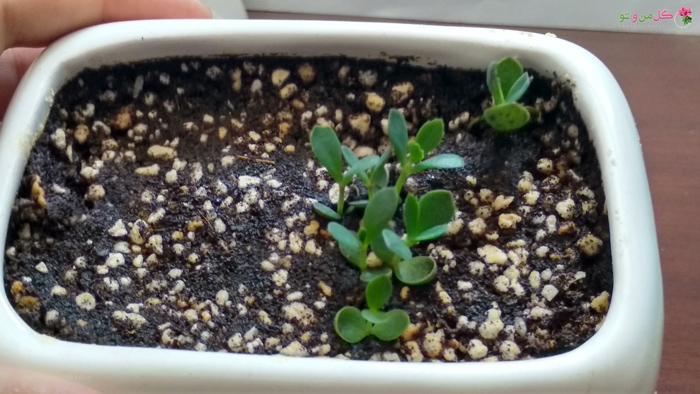 پرورش گیاه اشک تمساح