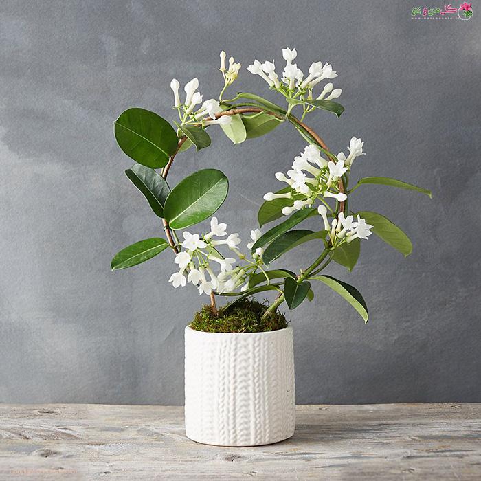 گل یاس - زیباترین گیاهان آپارتمانی گلدار