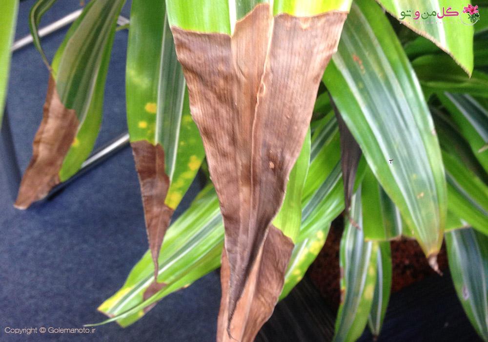 دلایل زرد شدن و سوختگی نوک برگ گیاهان آپارتمانی