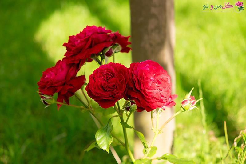 نحوه قلمه زدن گل رز