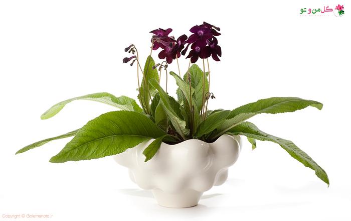 گل استرپتوکارپوس
