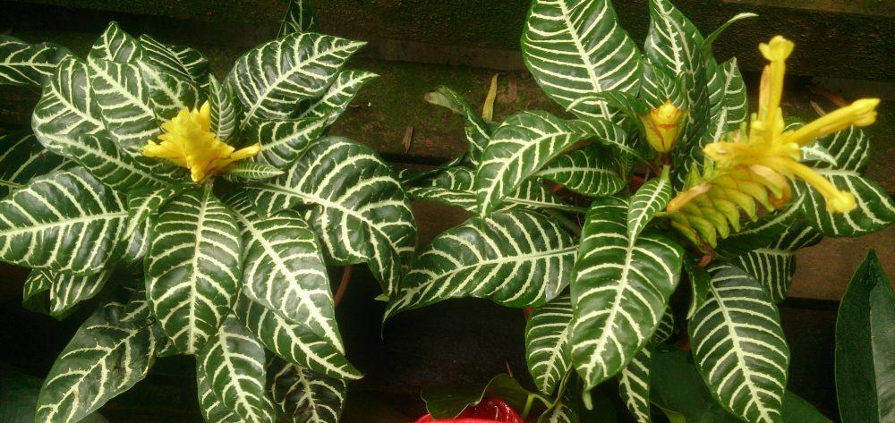 Zebra Plant Aphelandra squarrosa 2 e1531744765993 مشکلات نگهداری گیاه آفلاندرا