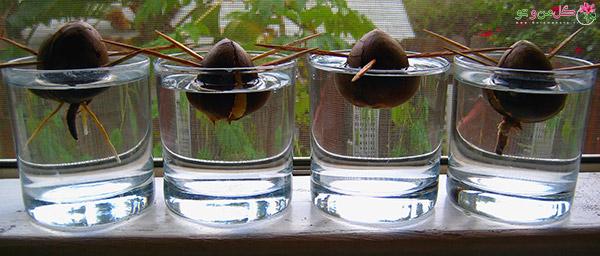 avo2 کاشت درخت میوه با هسته آن : کاشت درخت میوه در گلدان
