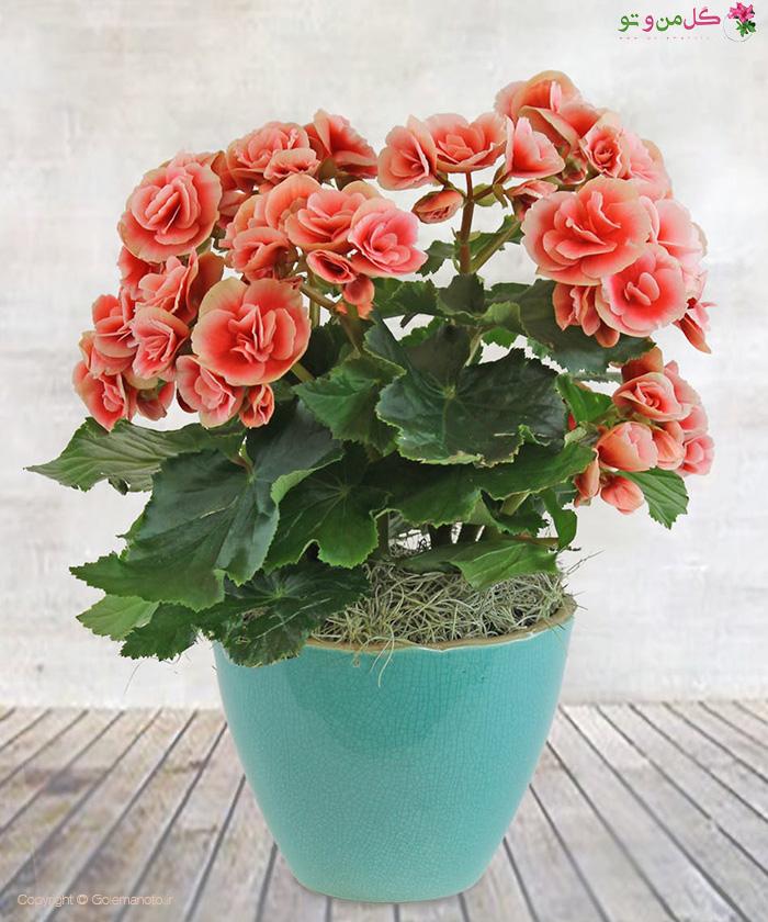 بگونیا هیمالیس - زیباترین گیاهان آپارتمانی