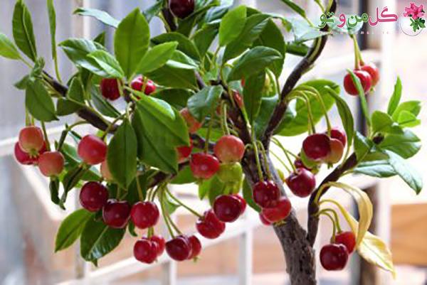 کاشت هسته درخت - درخت گیلاس
