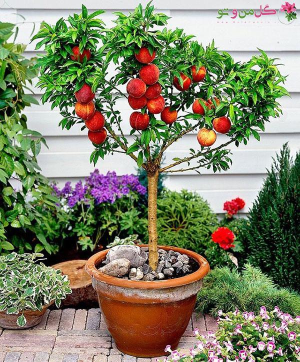 کاشت هسته درخت - درخت هلو