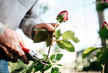 نحوه قلمه زدن گل رز و تکثیر گل رز