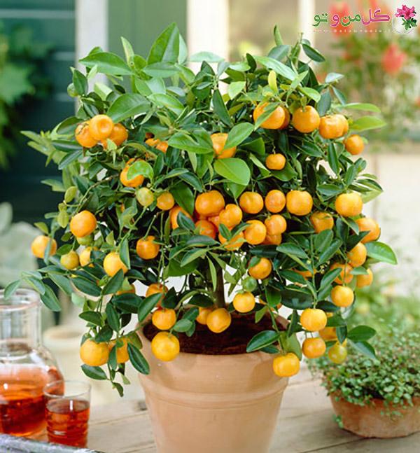کاشت هسته درخت - درخت نارنگی