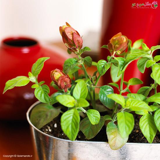 ناوک یا میگو - زیباترین گیاهان گلدار آپارتمانی