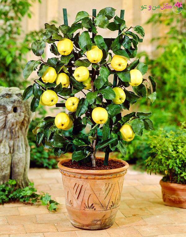 کاشت هسته درخت - درخت سیب