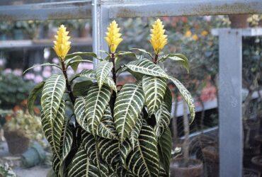 zebra plant resized 58a47bfb3df78c4758758b97 گل آفلاندرا
